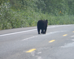 Bear walking down the street