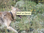 Wolf at Denali